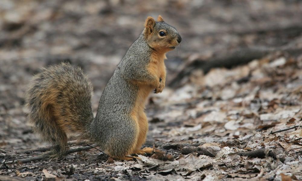 Gray Squirrel2
