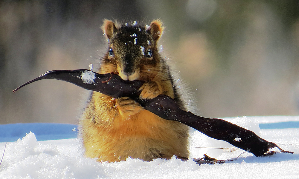 squirrel with locust pod 2-11-14