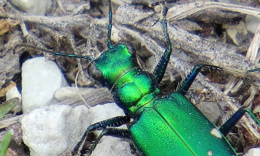 6-spotted-tiger-beetle