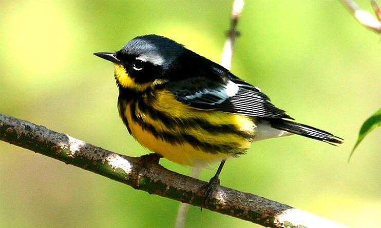 Male_Magnolia_Warbler_Bolland