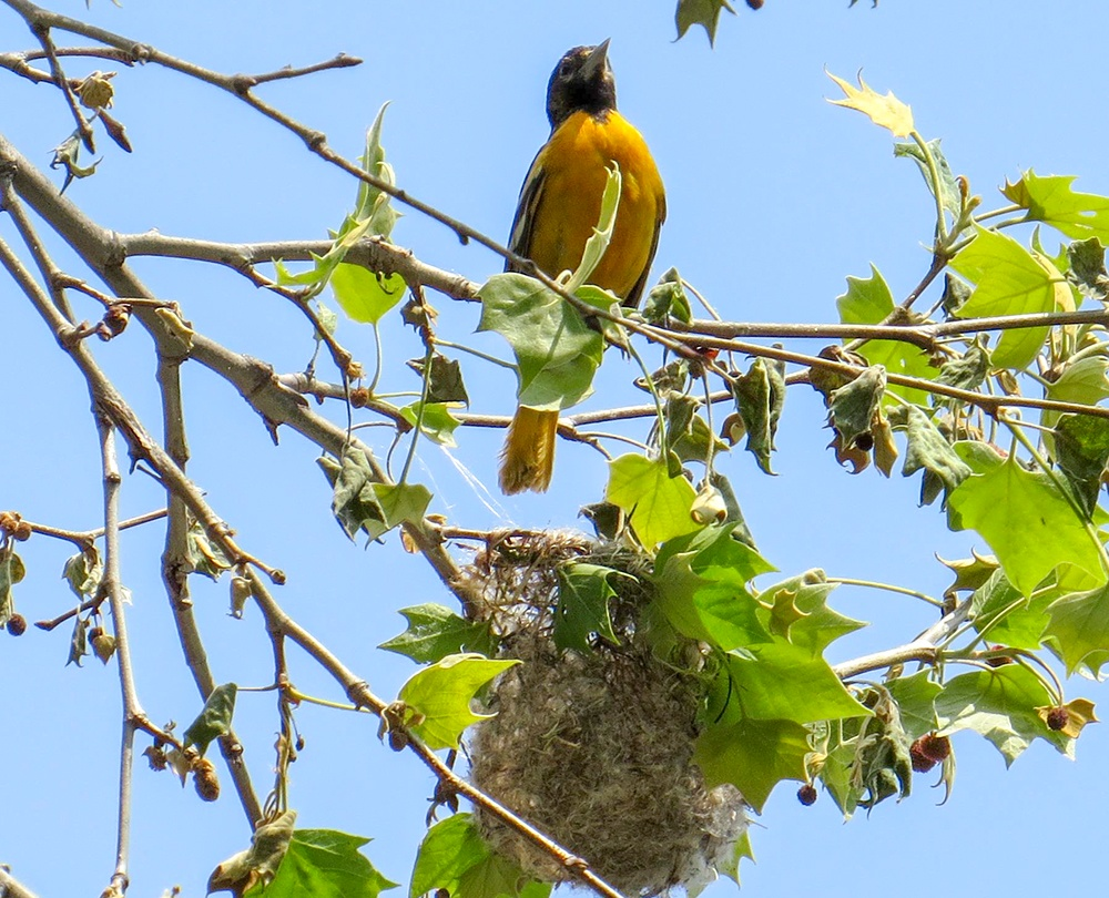 Baltimore-Oriole-nest