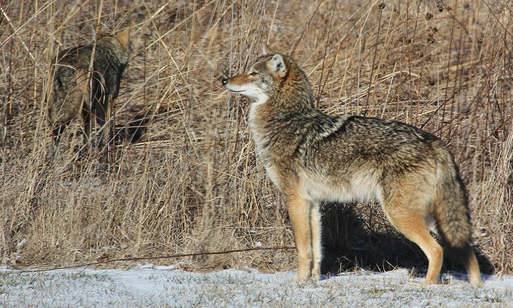 Coyote-pair