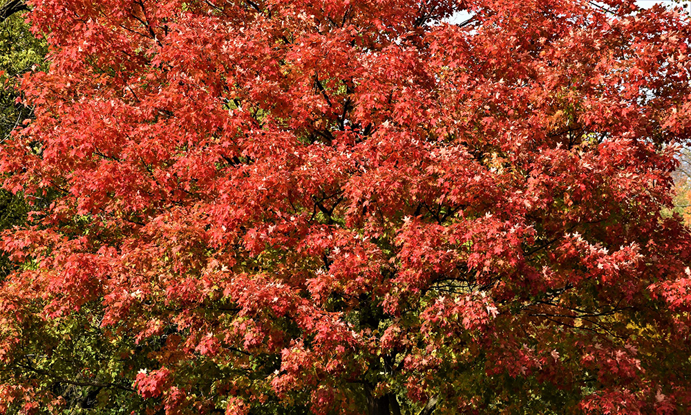 BW-red-tree-1000x600