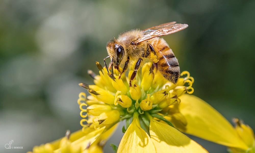 honey-bee-Duane-Marski-1000x600
