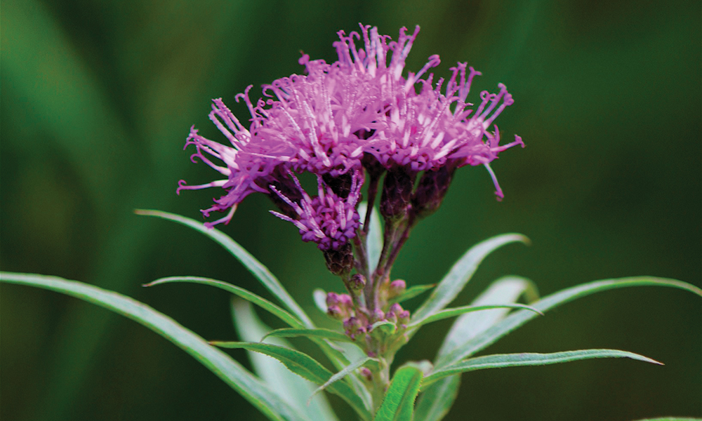 Ironweed-Dan-Mullen