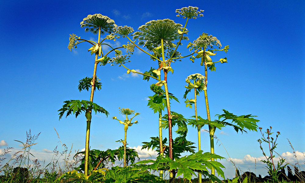 giant-hogweed-1492294_1920_pixabay