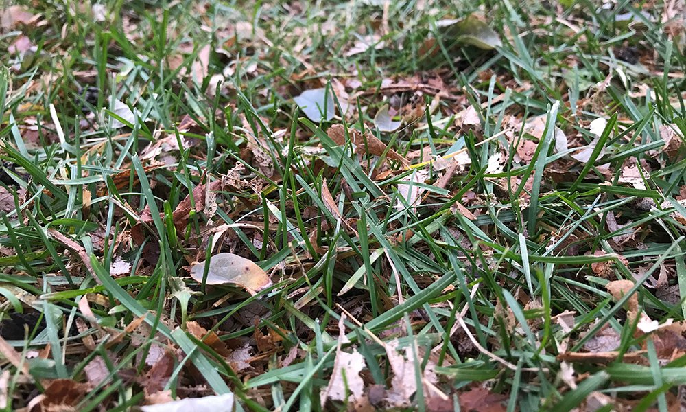 mulched-leaves-in-the-grass