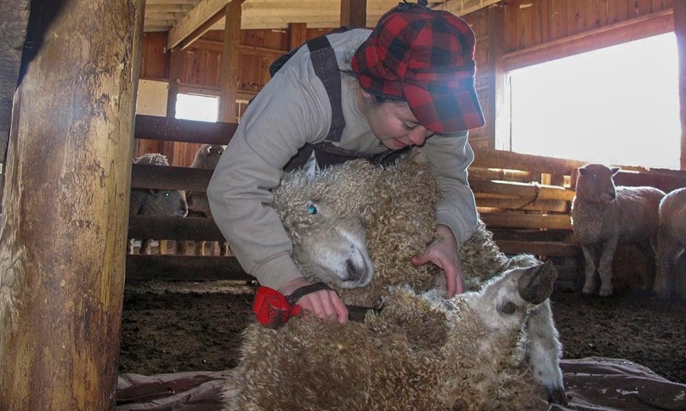 Lisa-Carpenter-sheep