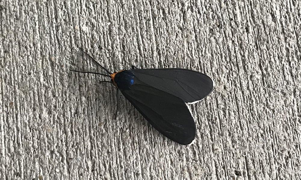 Virginia c moth