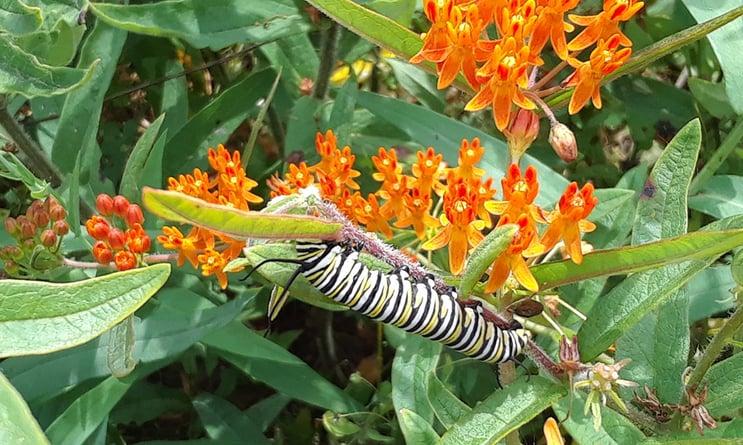 milkweed-with-monarch-caterpillar