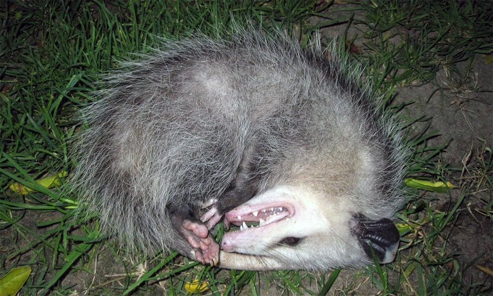 opossum_Tony Alter_2.0 Generic (CC BY 2.0)