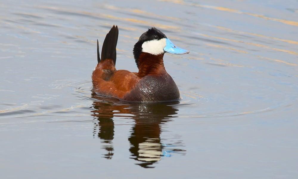 ruddy duck (1)
