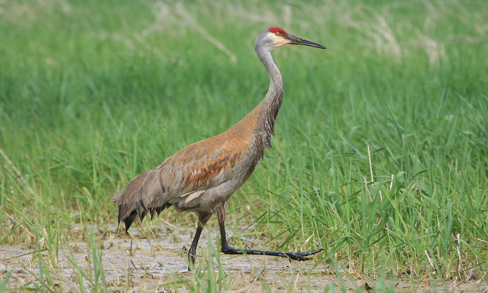 sandhill-crane-walking