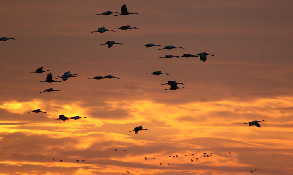 sandhill-flock-sunset
