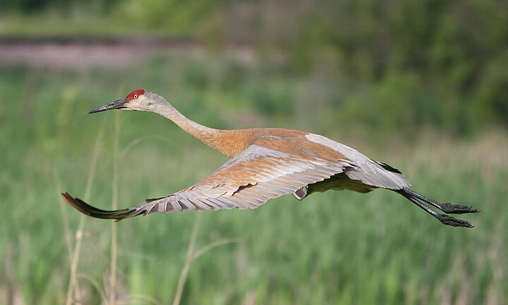 sandhill-in-flight
