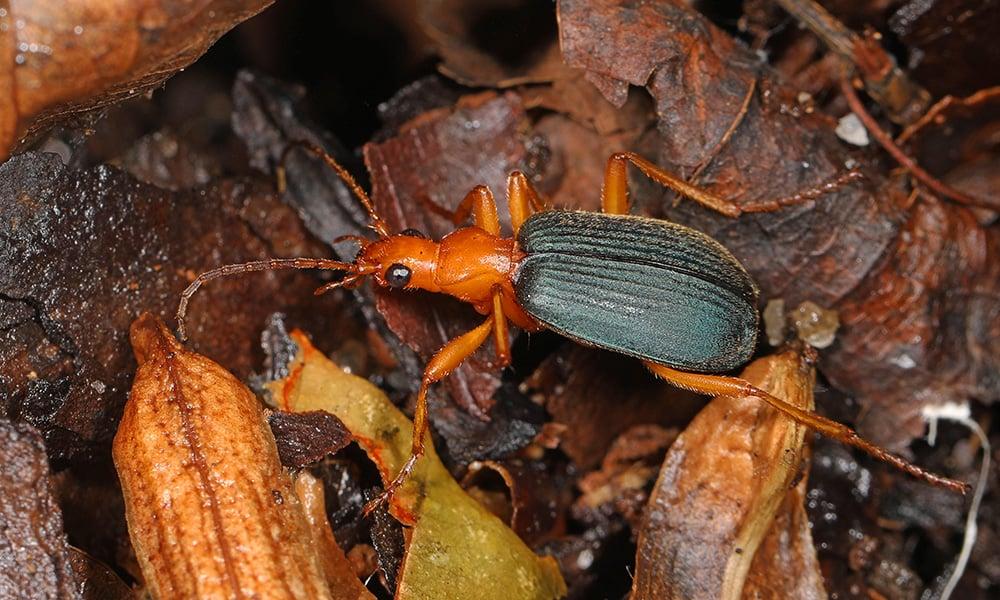 bombardier-beetle-JudyGallagher-1000x600