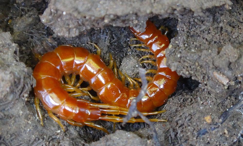 eastern-red-centipede-ChrisKratzer-1000x600