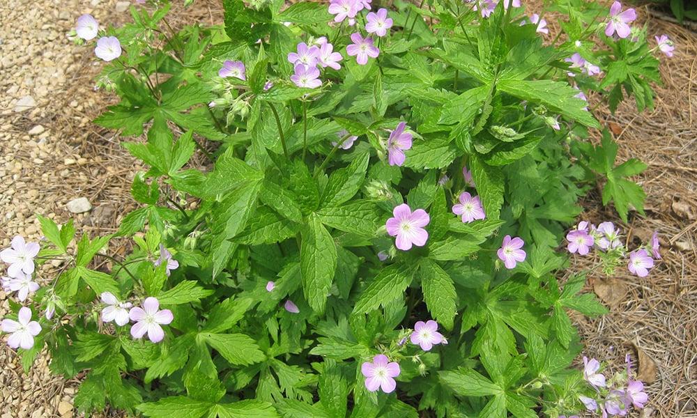 Wild-geranium-Cranbrook-Science