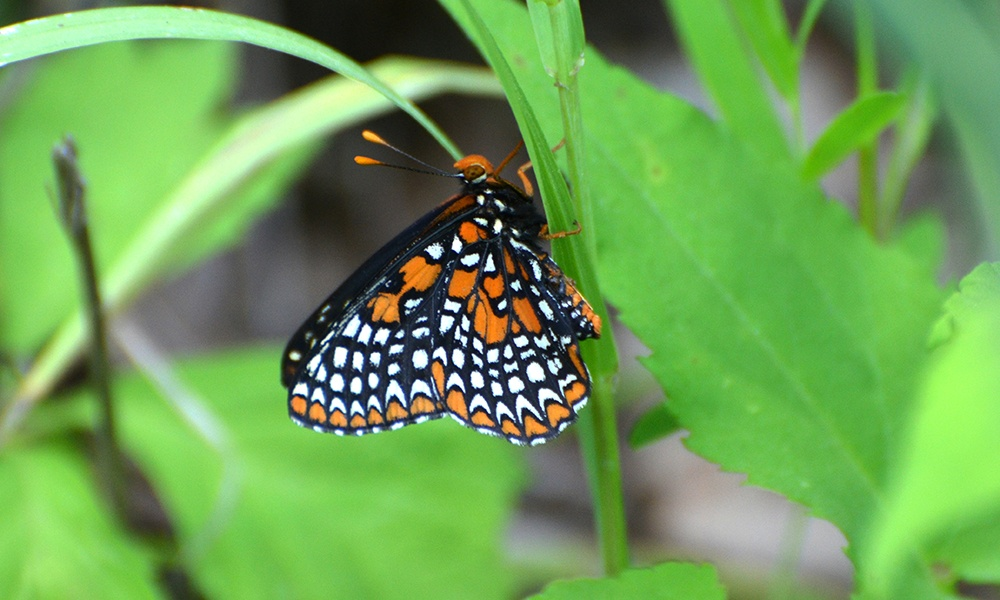 baltimore-checkerspot-AndyReago-ChrissyMcClarren