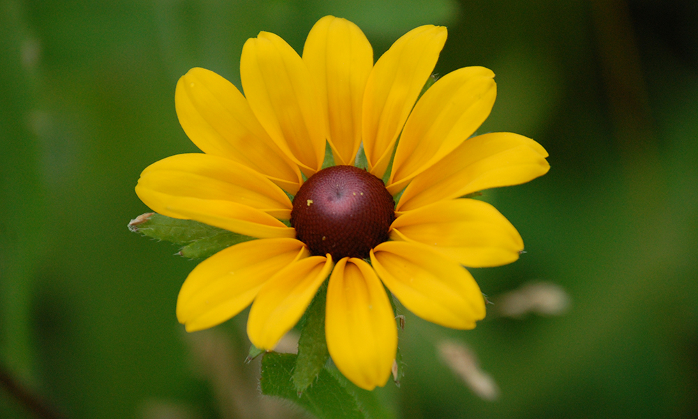 black-eyed-susan-flower-head