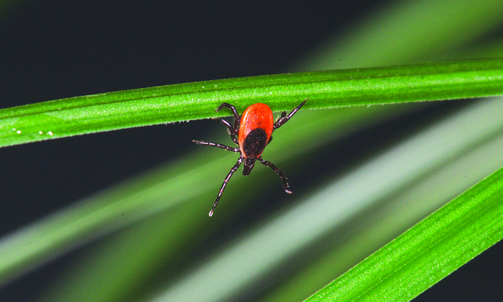 black-legged-tick-c-James-L-Occi-1