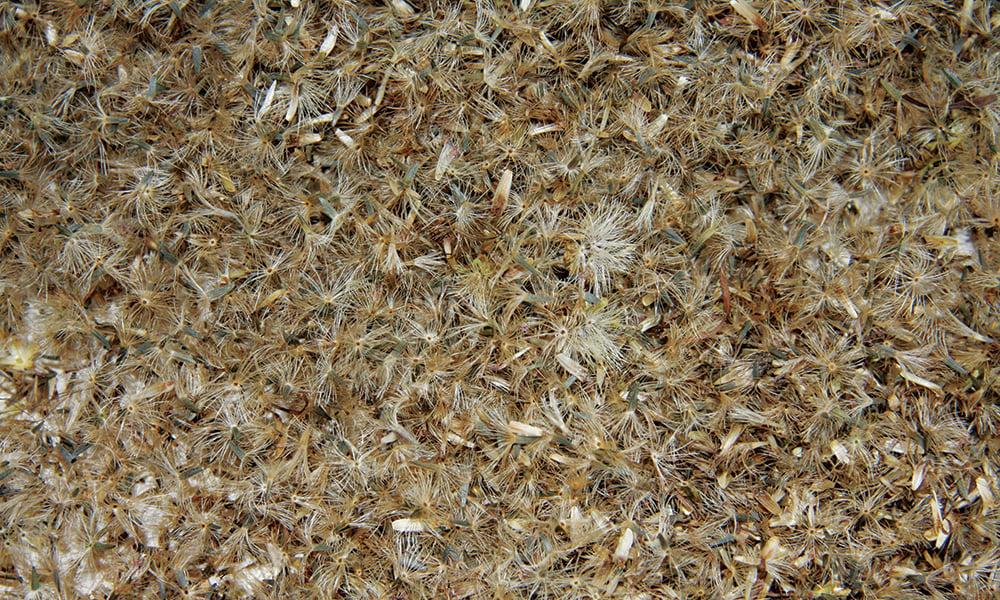 blazing-star-seeds
