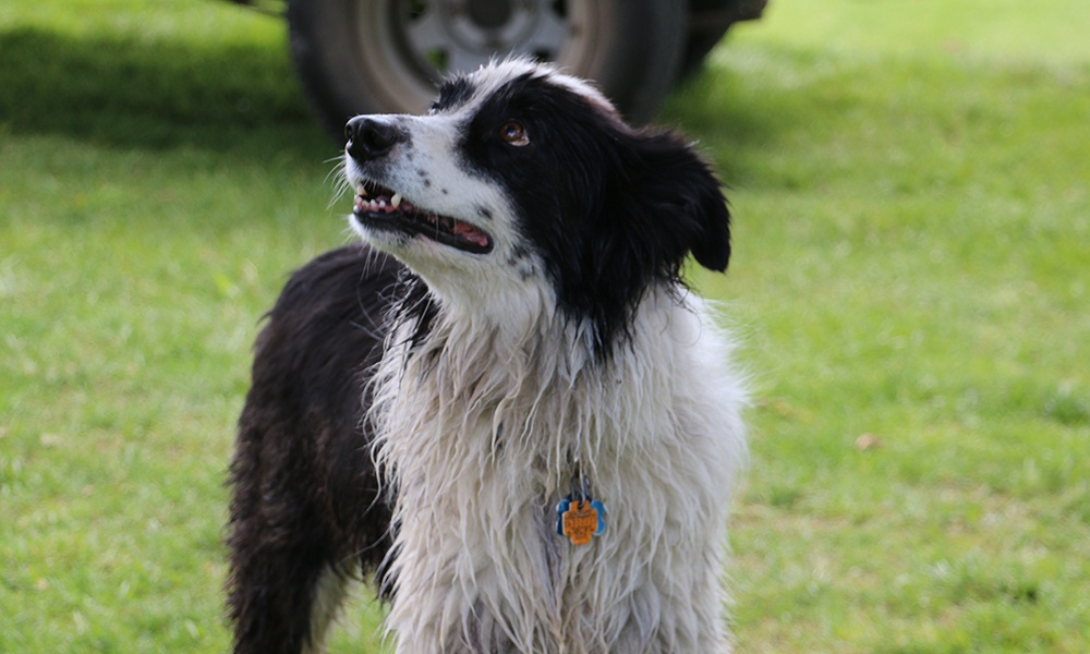 border-collie-looks-for-squirrel-in-tree