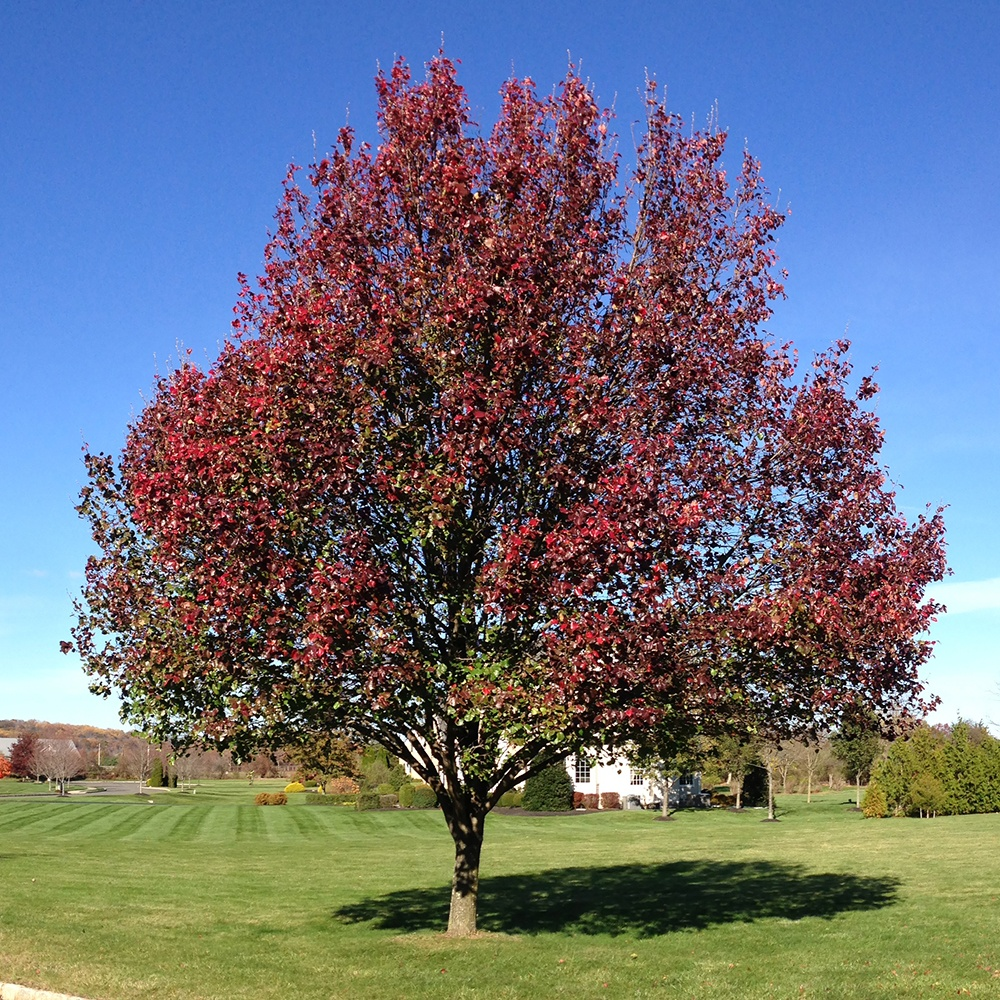 bradford-pear-wikimedia-commons