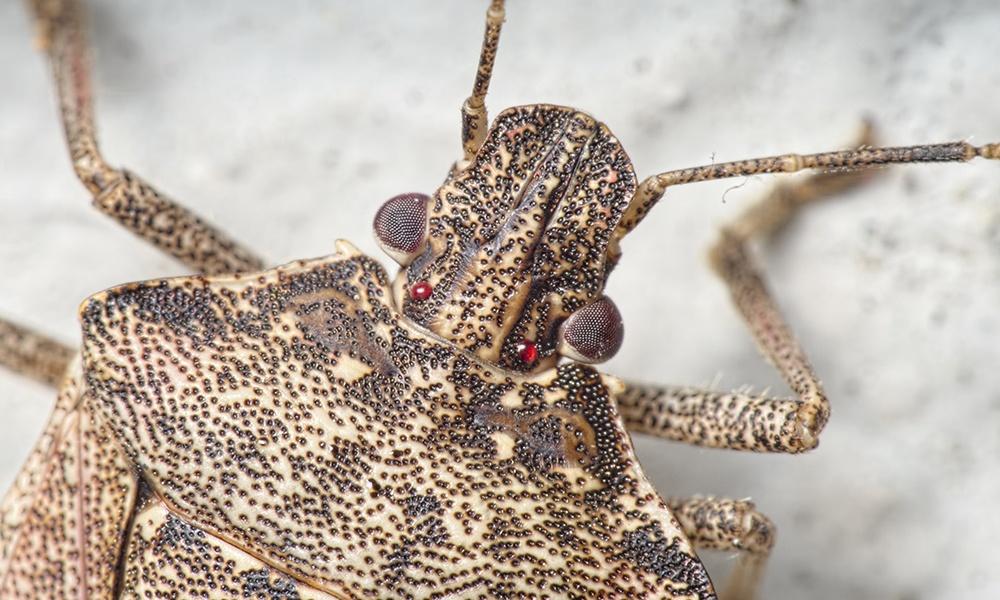 brown-marmorated-stink-bug-eyes-PierreBornand