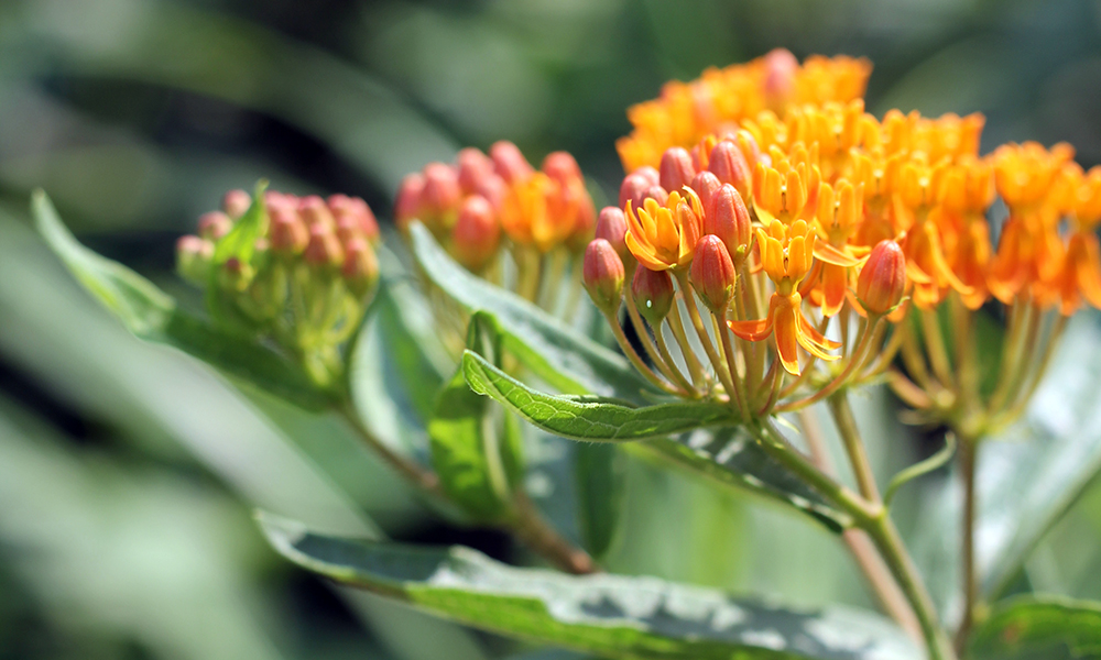butterfly-weed-garden