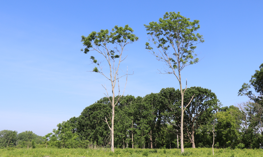 butternut-trees-west-chicago-prairie