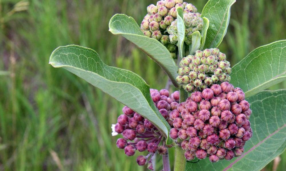 common-milkweed-prairie