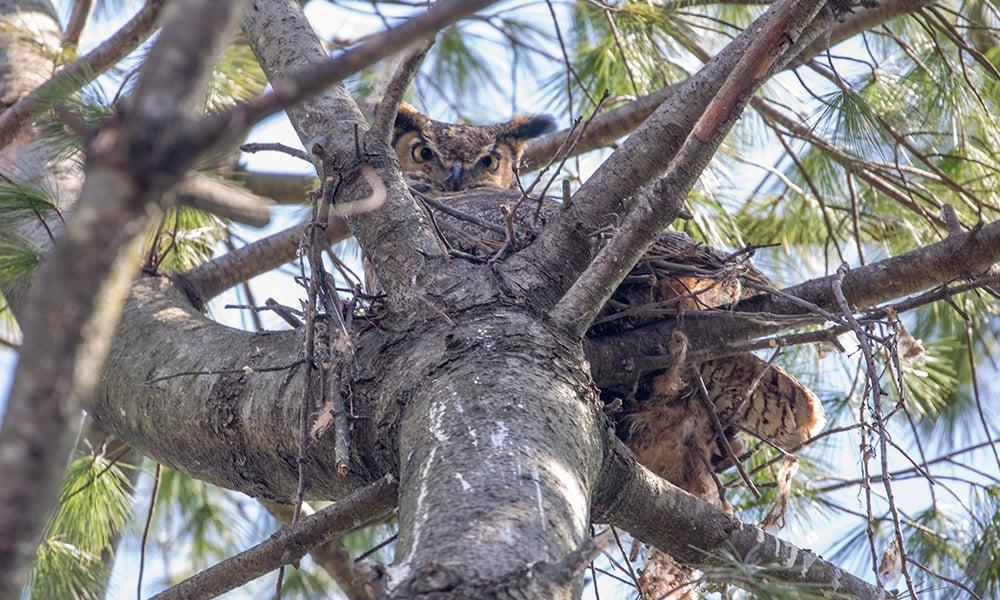 dg-mama-owl