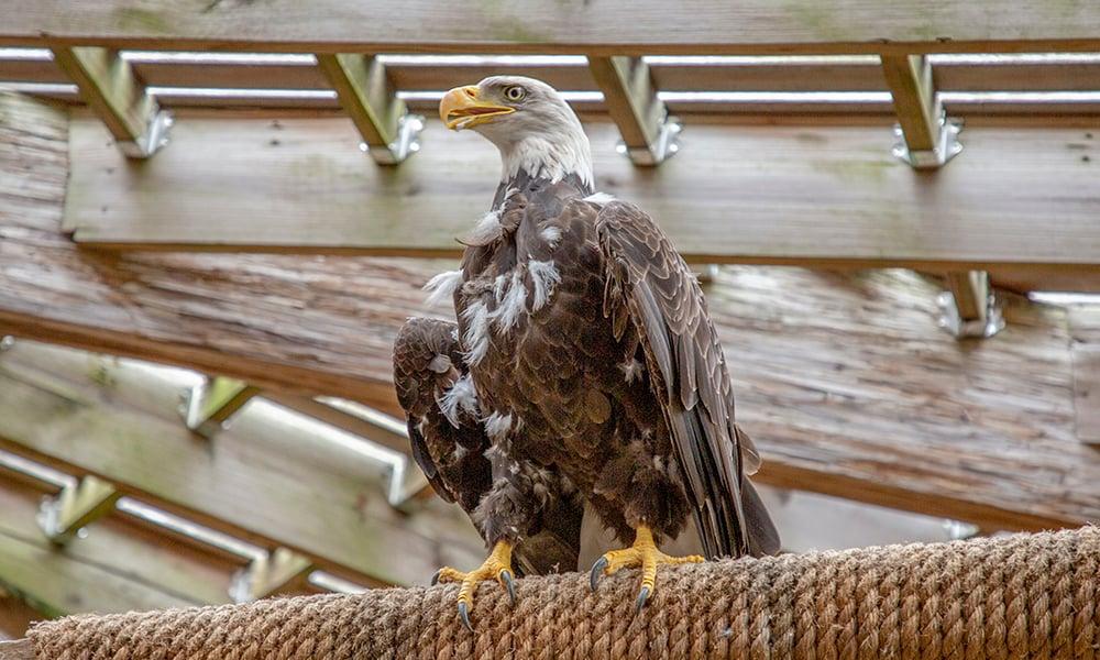 eagle-WB