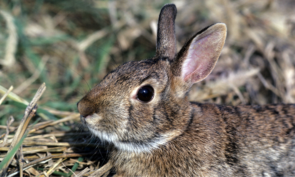 eastern-cottontail