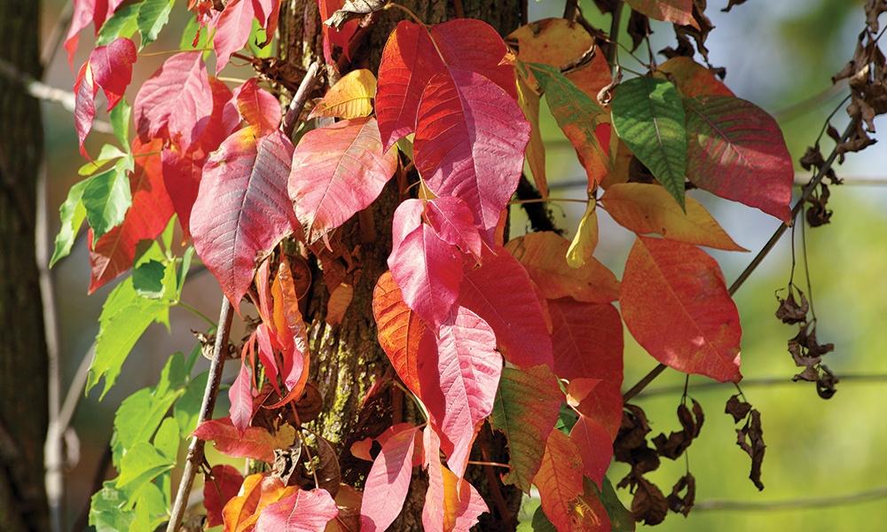 fall-poison-ivy-c-Anna-Hesser-1