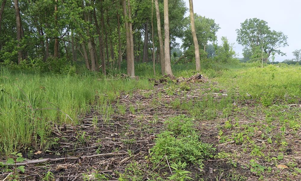 grasses-cleared-habitat-west-chicago-prairie