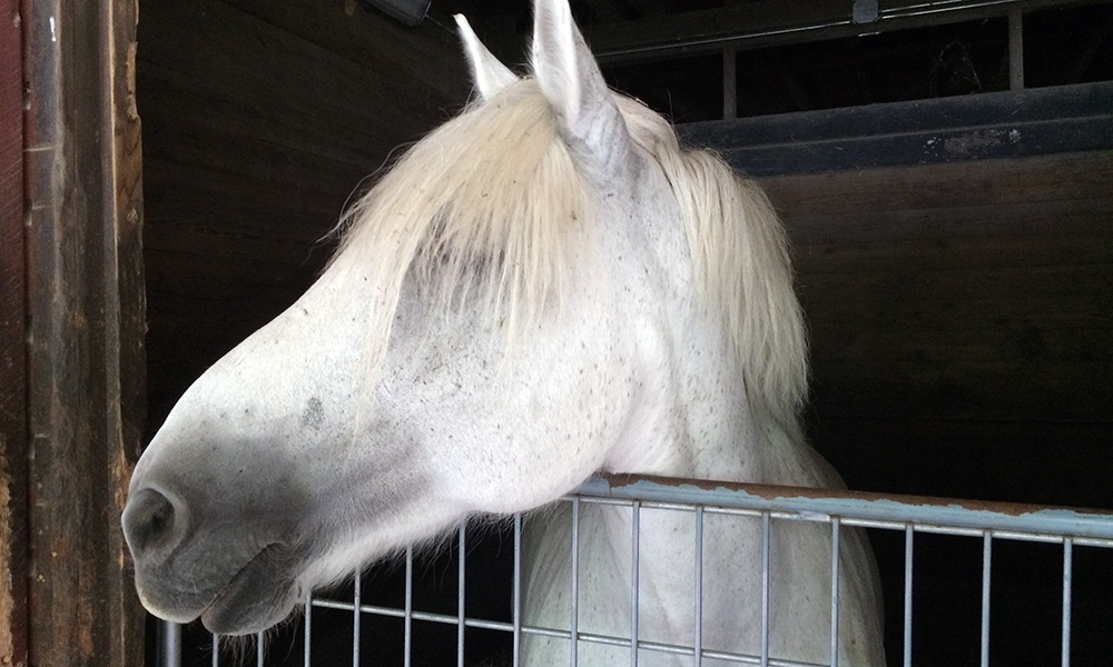 gray-horse-in-stall