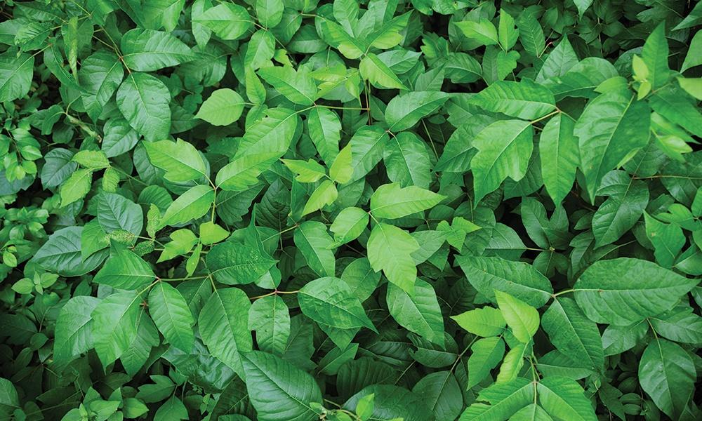 header-poison-ivy-c-Mike-Umo-1