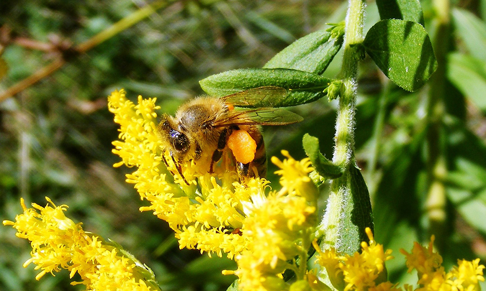 honey-bee-on-goldenrod-1000x600