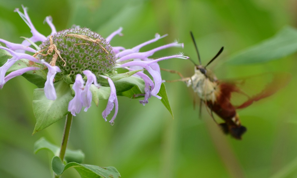 hummingbird-clearwing-moth