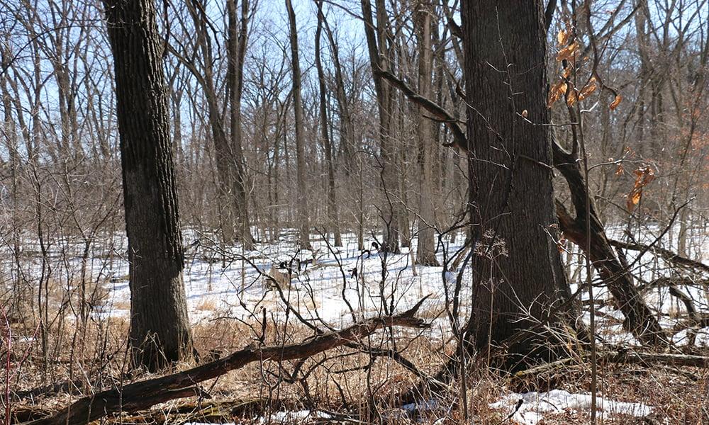 invasive-nonnative-plants-Belleau-Woods