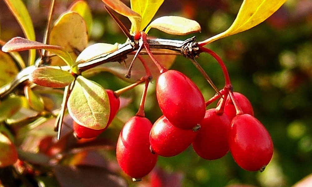 japanese-barberry-wikimedia-commons