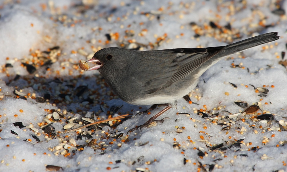 junco-eats-spilled-birdseed.jpg