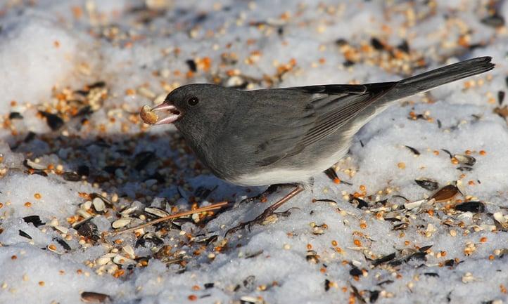 junco-eats-spilled-birdseed.jpg