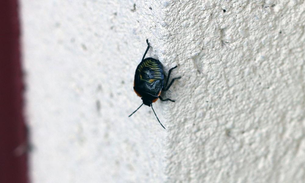 juvenile-stink-bug