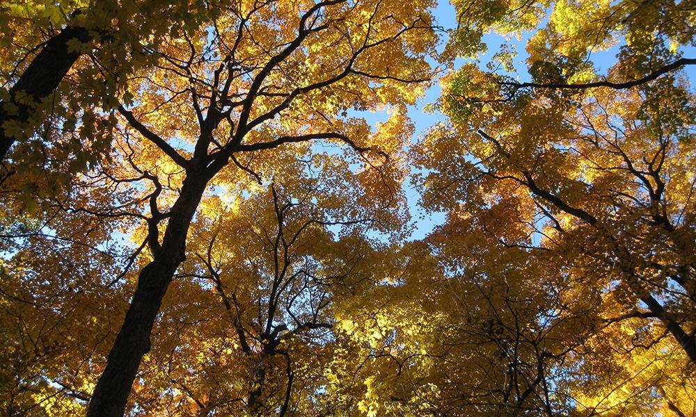 maple-grove-fall-foliage-canopy