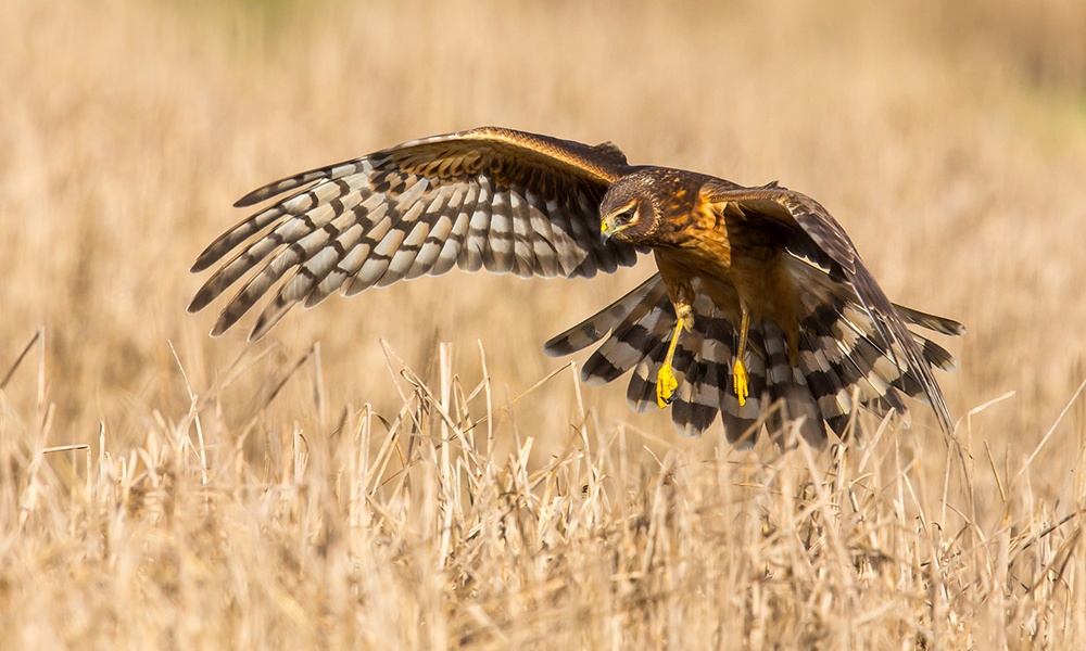 northern-harrier-MickThompson-CCBY-NC2.0