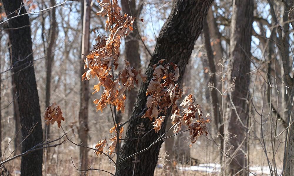 oak-sapling-Belleau-Woods