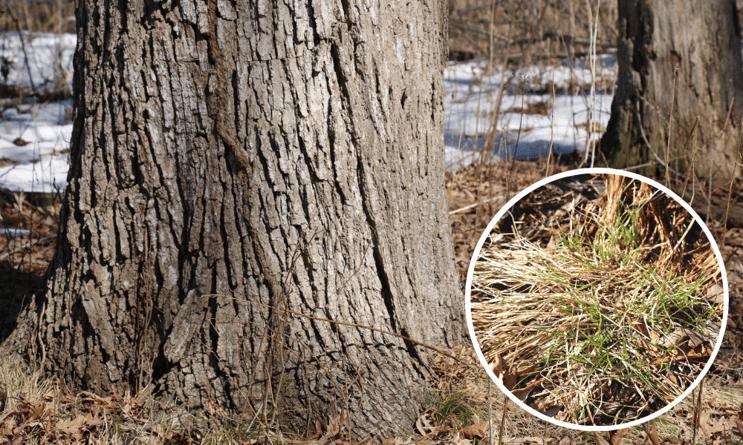 oak-sedge-understory-oak-2